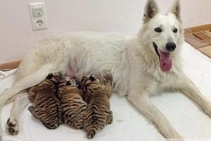 Tigriskölyköket fogadott örökbe egy pásztorkutya Oroszországban