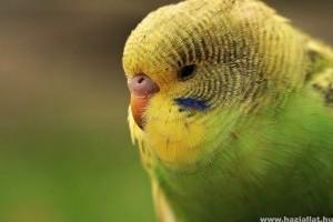 A leggyakoribb papagájbetegségek
