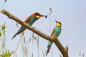 A gyurgyalag hazánk madárfaunájának egyik legszínpompásabb madara