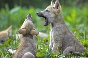 A farkaskölykök előbb kezdik felfedezni környezetüket, mint a kutyák
