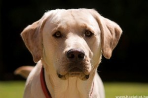 Továbbra is labrador retriever a legnépszerűbb kutyafajta az Egyesült Államokban