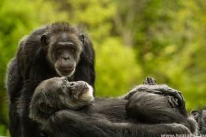 A csimpánzok rövidtávú memóriája jobb az emberénél