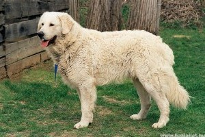 Kuvasz, az intelligens kutya