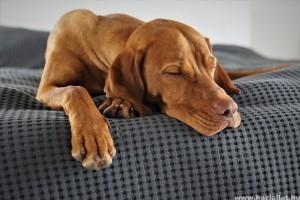 Magyar vizsla, imádnivaló kutya