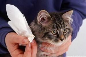 Macska fülgyulladás, fülröhösség
