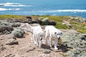 Olasz juhászkutyák a megmentői az ausztráliai törpepingvineknek