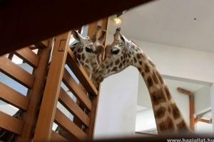 Zsiráftehén érkezett a veszprémi állatkertbe