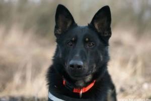 Bemutatkozik FALCO, a méregkereső kutya