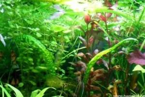 Kedvelt és gyakori akváriumi vízinövények