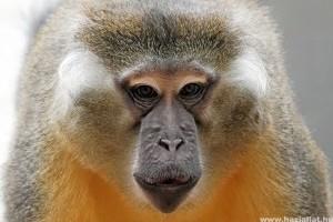 Aranyhasú mangábé majmok érkeznek a Fővárosi Állat-és Növénykertbe