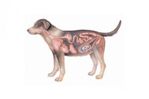 Gyerekekre is veszélyes a bélféreg-  minden 3. kutya fertőzött lehet