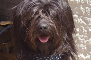Katalán pásztorkutya: latin temperamentum a kutyában