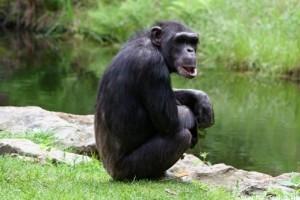 A csimpánzok képesek megváltoztatni hangjelzéseiket, ha új csoportba kerülnek