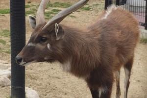 Szitatunga született a Nyíregyházi Állatparkban