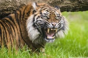 Párt kapott a nyíregyházi szumátrai tigris