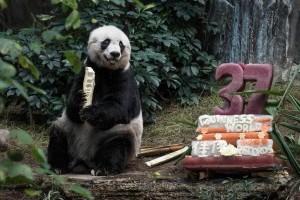 Meghalt a legöregebb Panda