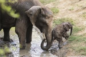 Afrikai elefántborjú született