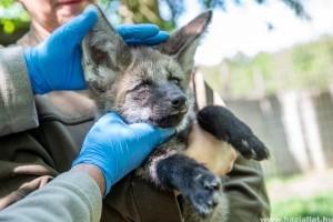 Sörényes farkasok születtek a Szegedi Vadasparkban