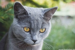 Miért fontos a brit rövidszőrű macska helyes táplálása?
