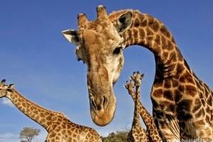 Megfejtették a zsiráf hosszú nyakának és szédületes sprintjeinek genetikai titkát