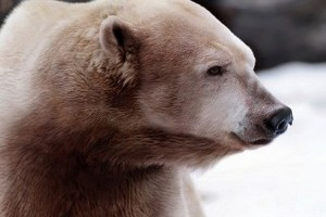 Grizzly-jegesmedvét lőttek le Kanada északi részén