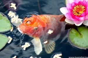 Milyen halakat tehetünk kerti tóba?
