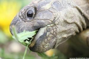 Milyen a jól nevelt görög teknős?