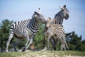 Zebracsikók születtek a veszprémi állatkertben