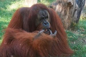 Gyere velünk az állatkertbe: családi idill az orangutánoknál