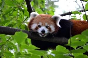 Éves belépőt nyerhetsz az állatkertbe, ha elsőként fotózod le a pandakölyköt