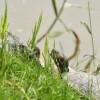 A megunt teknősök a Feneketlen-tóban landolnak?