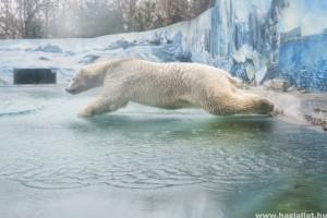 Fiete a rostocki jegesmedve jól érzi magát Nyíregyházán