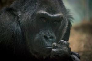 Megoperálták Colot, a világ legöregebb gorilláját