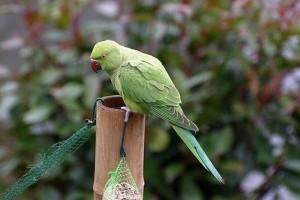 Az otthonokból kiszökött egzotikus madarak veszélyt jelentenek az őshonos madarakra