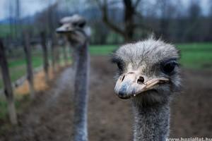 Csökkent a struccok iránti kereslet, egyre több tenyésztő hagy fel a madarak tartásával