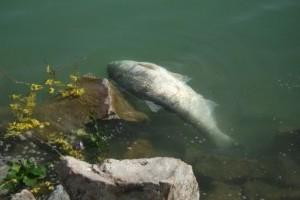 Kevesebb hal pusztult el Balatonban tavasszal
