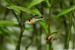 Milyen halakat érdemes társítanunk egy akváriumban?