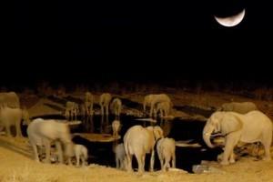 A vadorzók miatt aktívabbak éjszaka az afrikai elefántok