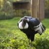 Kondorkeselyűk költöztek a Nyíregyházi Állatparkba