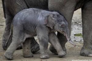 Kisfilm készült a kiselefánt születéséről