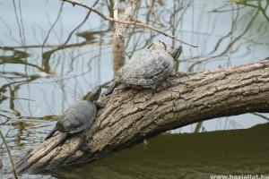 Idén is teknősmentés a Feneketlen-tónál