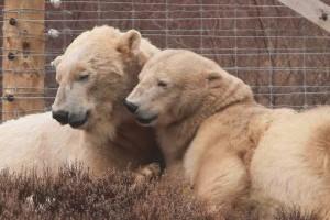 Huszonöt év után először született jegesmedvebocs brit állatparkban