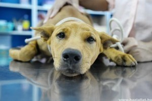 Vérplazma injekció (PRP) már az állatgyógyászatban is