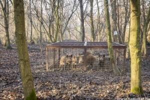 Egy év alatt száznál több vaddisznót fogtak be a Pilisi Parkerdőben