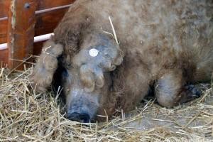A mangalica a magyar állattenyésztés sikertörténete