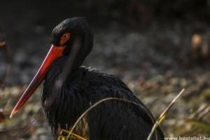 Megérkezett Tóbiás, a fekete gólya - videón a landolás