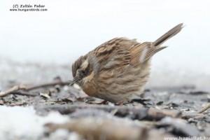 Új madárvendék: Feketetorkú szürkebegyet figyeltek meg Magyarországon