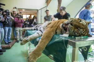 Első ilyen műtét a világon: saját őssejtjével kezelték a szegedi tigrist