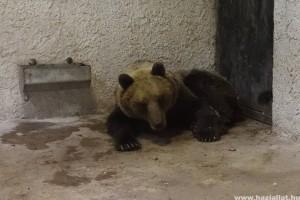 Hétfőn döntenek a befogott medvéről