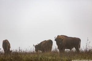 Miért kerültek bölények az Őrségi Nemzeti Parkba?